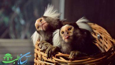 بیماری های رایج در میمون های خانگی و مشکلات نگهداری