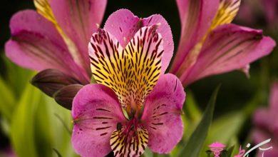 گل آلسترومریا