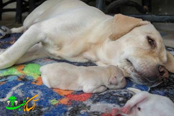 علت سقط جنین در سگ ها