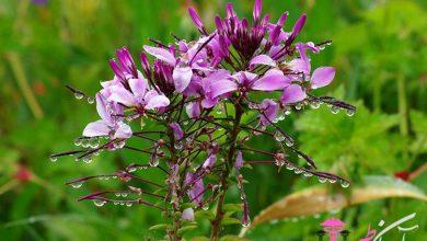 گل عنکبوتی