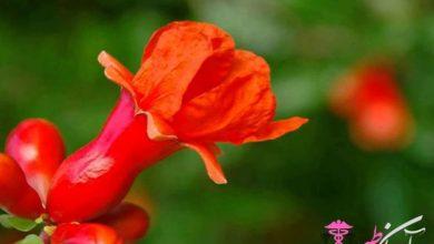 گل انار