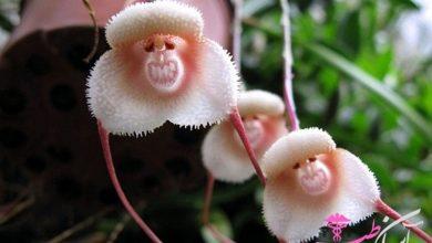 گل میمون